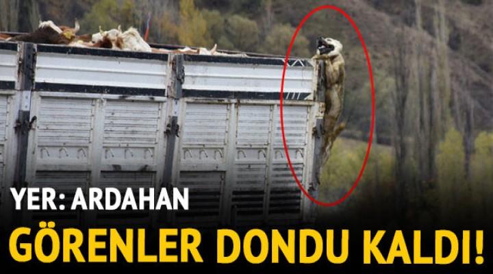 Ardahan'da çoban köpeğinin fotoğrafını görenler şaştı kaldı