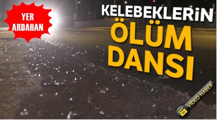 Ardahan'da Kelebeklerin Ölüm dansı başladı